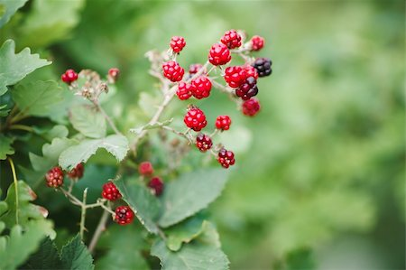 blackberry growth. beautiful landscape Stock Photo - Budget Royalty-Free & Subscription, Code: 400-05876898