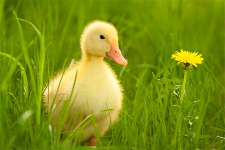 Little yellow duckling on the green grass Stock Photo - Budget Royalty-Free & Subscription, Code: 400-05876902