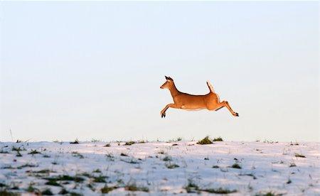 deer hunt - Deer leaping in flight Stock Photo - Budget Royalty-Free & Subscription, Code: 400-05896863
