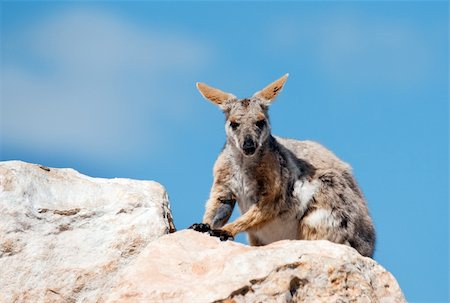 endangered yellow footed rock wallaby in the wild Stock Photo - Budget Royalty-Free & Subscription, Code: 400-05908997