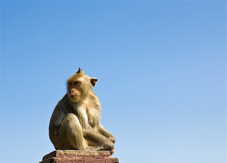 Macaque monkey sat on stone and blue sky in Thailand Stock Photo - Budget Royalty-Free & Subscription, Code: 400-05909073