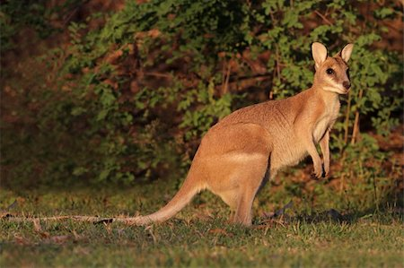Female Agile Wallaby (Macropus agilis), Kakadu National Park, Northern territory, Australia Stock Photo - Budget Royalty-Free & Subscription, Code: 400-05900108