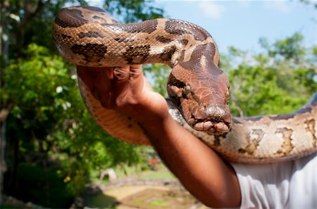 snake skin - Hand-reared python in male hand. Focus on the snake. Stock Photo - Budget Royalty-Free & Subscription, Code: 400-05901903