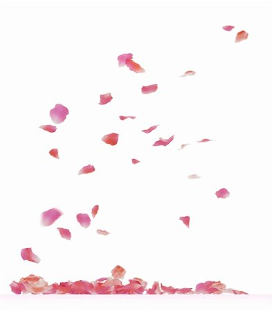 Falling rose petals. Isolated on white background. Stock Photo - Budget Royalty-Free & Subscription, Code: 400-05915417