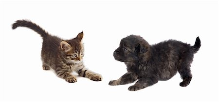Puppy and kitten playing isolated on white background Stock Photo - Budget Royalty-Free & Subscription, Code: 400-05910428