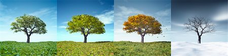 An image of a nice tree in four seasons Stock Photo - Budget Royalty-Free & Subscription, Code: 400-05936386