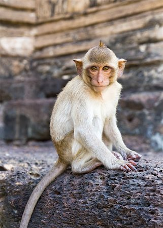 Portrait of young rhesus macaque monkey in Wat Prapang Sam Yot temple  in Thailand Stock Photo - Budget Royalty-Free & Subscription, Code: 400-06066162