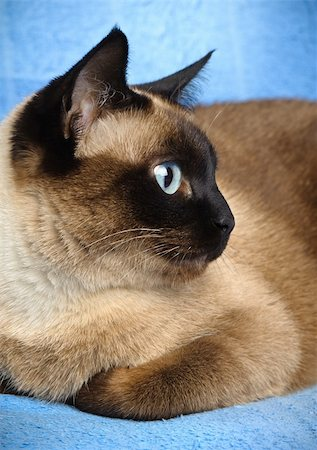 close up of cute blue-eyed siamese cat Stock Photo - Budget Royalty-Free & Subscription, Code: 400-06068866