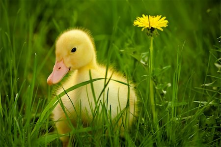 Little yellow duckling on the green grass Stock Photo - Budget Royalty-Free & Subscription, Code: 400-06063057