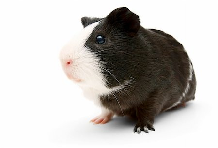 guinea pig. On a white background. Stock Photo - Budget Royalty-Free & Subscription, Code: 400-06063751