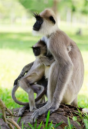 Wild monkey embraces her baby, Asia, Sri Lanka Stock Photo - Budget Royalty-Free & Subscription, Code: 400-06074503