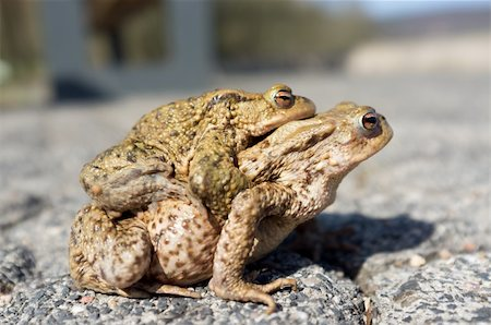 people mating - Couple Of mating Toads  in spring season Stock Photo - Budget Royalty-Free & Subscription, Code: 400-06077506