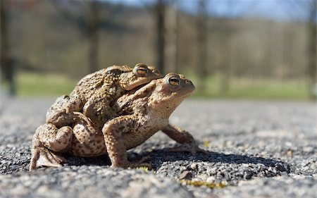 people mating - Couple Of mating Toads  in spring season Stock Photo - Budget Royalty-Free & Subscription, Code: 400-06077507