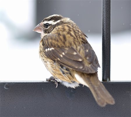 simsearch:400-04399778,k - Sparrow in a winter Stock Photo - Budget Royalty-Free & Subscription, Code: 400-06085915