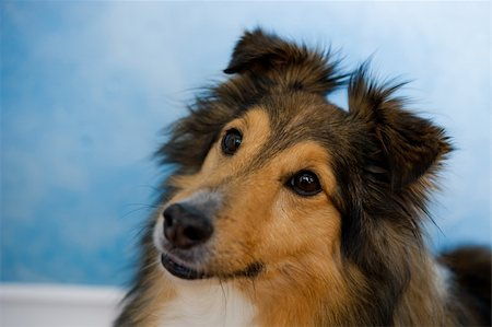 Image of a beautiful Sheltie on bluosh background Stock Photo - Budget Royalty-Free & Subscription, Code: 400-06092947