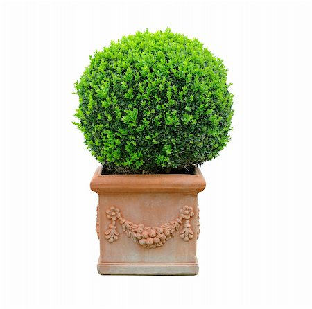 boxwood in clay pot isolated on white background Stock Photo - Budget Royalty-Free & Subscription, Code: 400-06104467