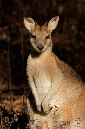 Female Agile Wallaby (Macropus agilis), Kakadu National Park, Northern territory, Australia Stock Photo - Budget Royalty-Free & Subscription, Code: 400-06106295