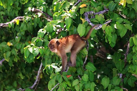 Brown monkey sitting at a green tree branches Stock Photo - Budget Royalty-Free & Subscription, Code: 400-06107276