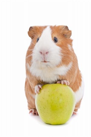 guinea pig with green apple over white Stock Photo - Budget Royalty-Free & Subscription, Code: 400-06100397