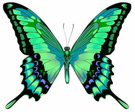 Vector illustration of beautiful blue green butterfly  isolated on white background Stock Photo - Budget Royalty-Free & Subscription, Code: 400-06101053