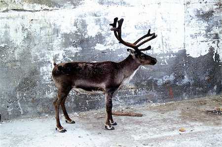 Urban reindeer Stock Photo - Budget Royalty-Free & Subscription, Code: 400-06129916