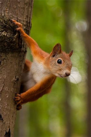 Red squirrel sitting on a tree in forest Stock Photo - Budget Royalty-Free & Subscription, Code: 400-06139308