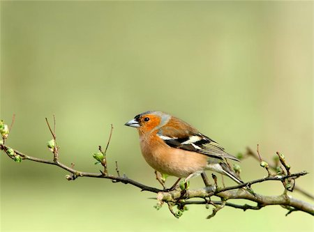 fringilla - Male chaffinch sitting on the branch of a hawthorn tree in spring. Stock Photo - Budget Royalty-Free & Subscription, Code: 400-06131208