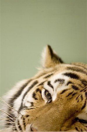 Tigers face Stock Photo - Budget Royalty-Free & Subscription, Code: 400-06131670