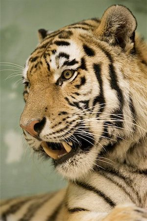 Tiger portrait Stock Photo - Budget Royalty-Free & Subscription, Code: 400-06131754