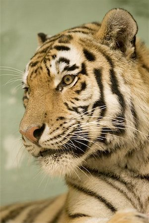 Tiger portrait Stock Photo - Budget Royalty-Free & Subscription, Code: 400-06131756
