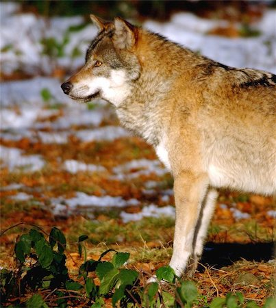 European Wolf; NP Bavarian Forest Stock Photo - Budget Royalty-Free & Subscription, Code: 400-06133241