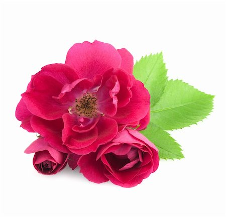 flower greeting - Beautiful  Rose Flowers with leaves isolated on white Stock Photo - Budget Royalty-Free & Subscription, Code: 400-06141323