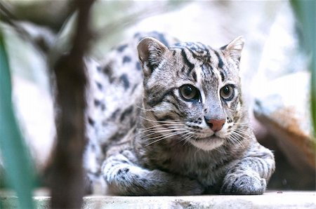 detail of head fishing cat, which monitors the surroundings Stock Photo - Budget Royalty-Free & Subscription, Code: 400-06141800