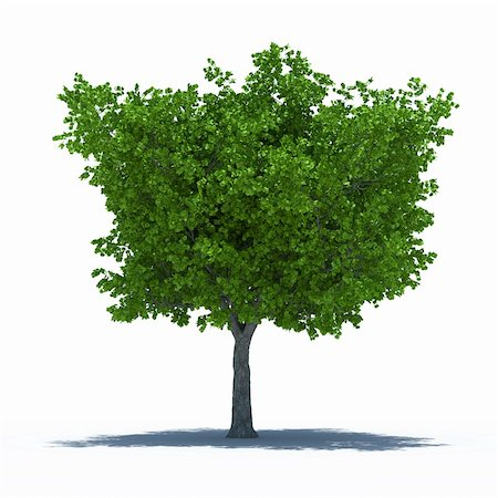 3d render of beautiful tree with shadow. Isolated on white background Stock Photo - Budget Royalty-Free & Subscription, Code: 400-06141841