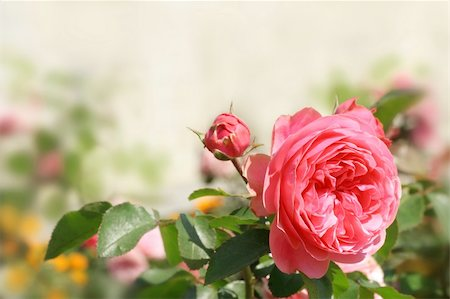 rose patterns - Pink roses on bright blurred background. Can be used as background for post card. Stock Photo - Budget Royalty-Free & Subscription, Code: 400-06142946