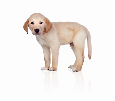 Beautiful Labrador retriever puppy isolated on white background Stock Photo - Budget Royalty-Free & Subscription, Code: 400-06143045