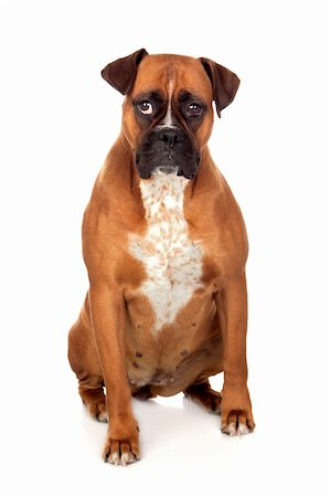 Beautiful Boxer dog isolated on white background Stock Photo - Budget Royalty-Free & Subscription, Code: 400-06143049