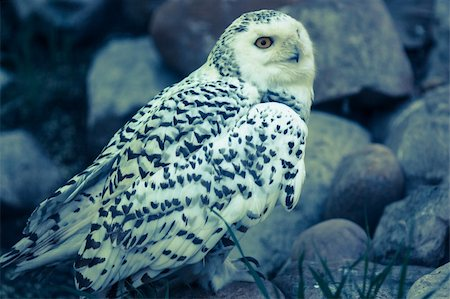 Beautiful brilliant white owl close up Stock Photo - Budget Royalty-Free & Subscription, Code: 400-06175539