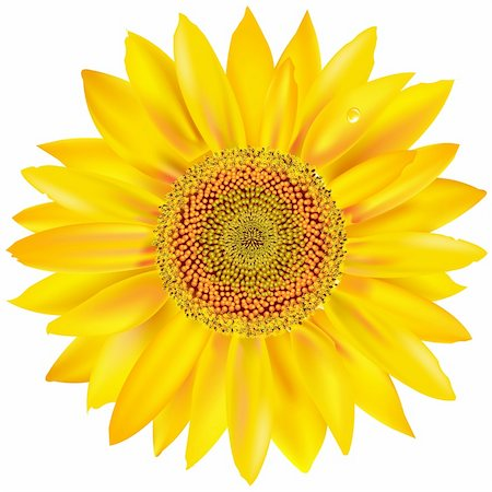 florist vector - Gold Sunflower, Isolated On White Background, Vector Illustration Stock Photo - Budget Royalty-Free & Subscription, Code: 400-06171830
