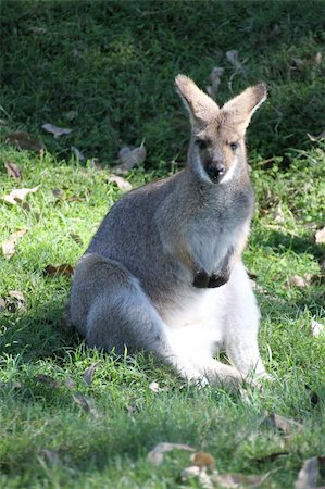 Wallaby sitting in the grass at a park Stock Photo - Budget Royalty-Free & Subscription, Code: 400-06172379