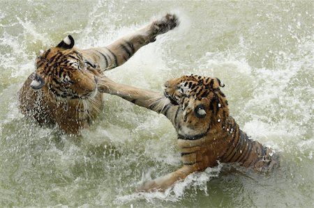 enemy - Fighting tigers in a water Stock Photo - Budget Royalty-Free & Subscription, Code: 400-06173286