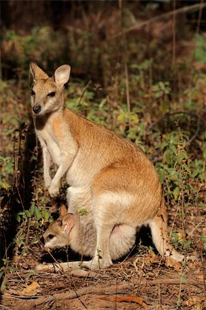 Female Agile Wallaby (Macropus agilis) with baby in pouch, Kakadu National Park, Northern territory, Australia Stock Photo - Budget Royalty-Free & Subscription, Code: 400-06207205