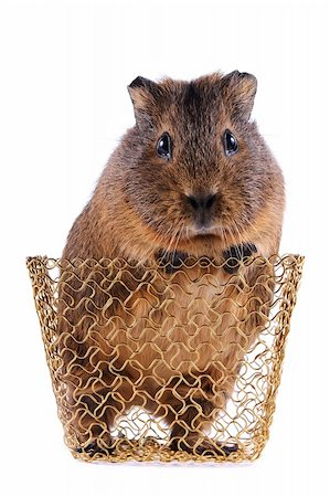 Guinea pig in a gold wattled basket on a white background Stock Photo - Budget Royalty-Free & Subscription, Code: 400-06202350