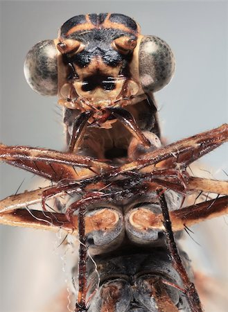 Ultra Macro frontal shoot of a brown dragonfly Stock Photo - Budget Royalty-Free & Subscription, Code: 400-06328808