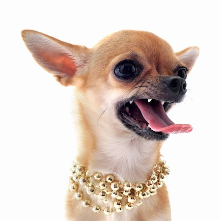 portrait of a angry  purebred chihuahua with pearl collar in front of white background Stock Photo - Budget Royalty-Free & Subscription, Code: 400-06329734