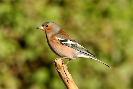 fringilla - Portrait of a male Chaffinch Stock Photo - Budget Royalty-Free & Subscription, Code: 400-06330743