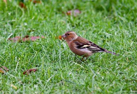 fringilla - Chaffinch bird Stock Photo - Budget Royalty-Free & Subscription, Code: 400-06365710