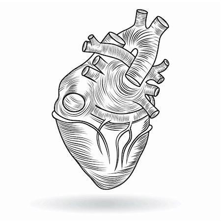 svetap (artist) - Heart human body anatomy sketch isolated on white background as medical health care symbol of cardiovascular organ. Valentine vector button or icon. Stock Photo - Budget Royalty-Free & Subscription, Code: 400-06360635