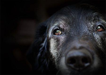 Animal - Old dog. labrador retriever macro shot. Stock Photo - Budget Royalty-Free & Subscription, Code: 400-06384383