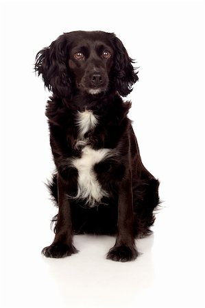 Beautiful black Cocker Spaniel isolated on white background Stock Photo - Budget Royalty-Free & Subscription, Code: 400-06386899